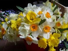 daffodils-701588_1920