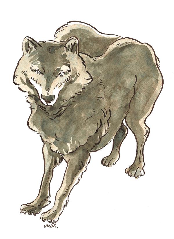 Navas - Loup gris
