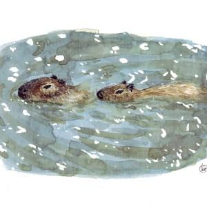 Olivier Martin – Capybaras nageant – Print A5