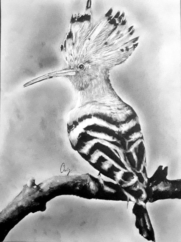 chrispicture_Huppe fasciée_crayon graphite