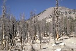 Dead trees at base of Mammoth Mountain, Long Valley caldera, California