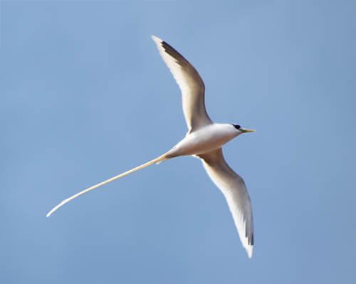 Tropicbird-White-Black-Marks-Flying-2-Sml