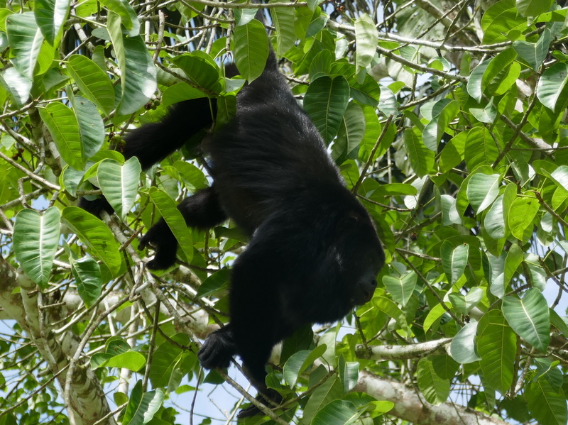 howler monkey in Xunantunich