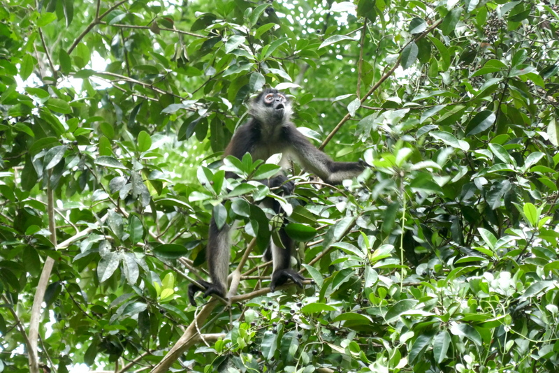 spider monkey in the tree at Tikal national park