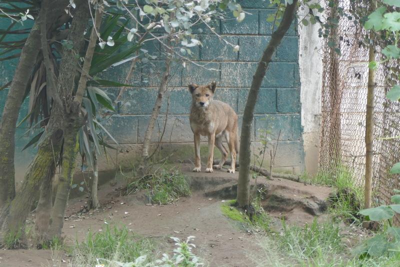 Coyote in Xela's zoo, Parque Zoologico Minerva.