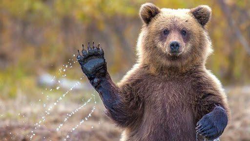В Сясьстрое вновь заметили медведя