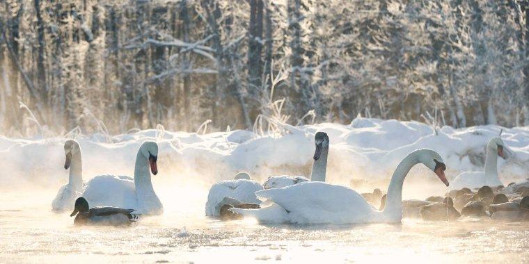 Белые лебеди зимуют на Волхове?