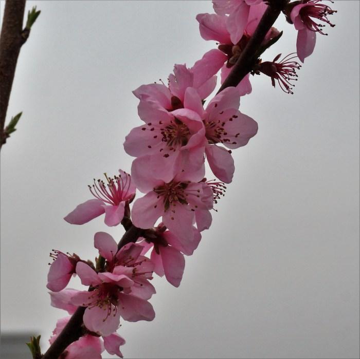 bloesem perzikboom