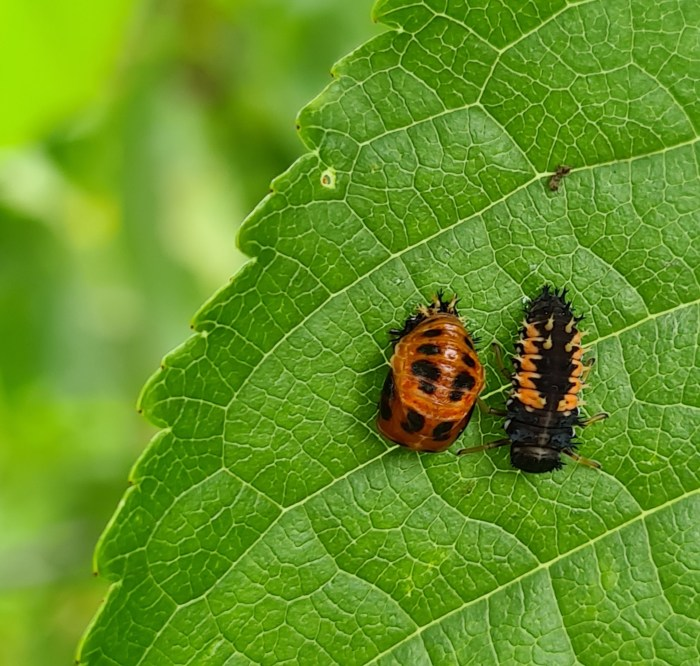 larven van lieveheersbeestjes