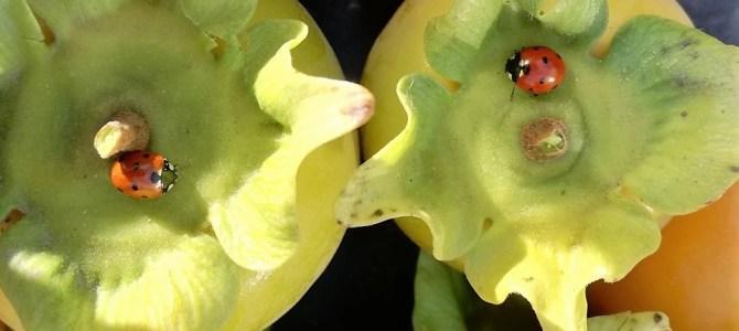 Tuinvrienden, het lieveheersbeestje