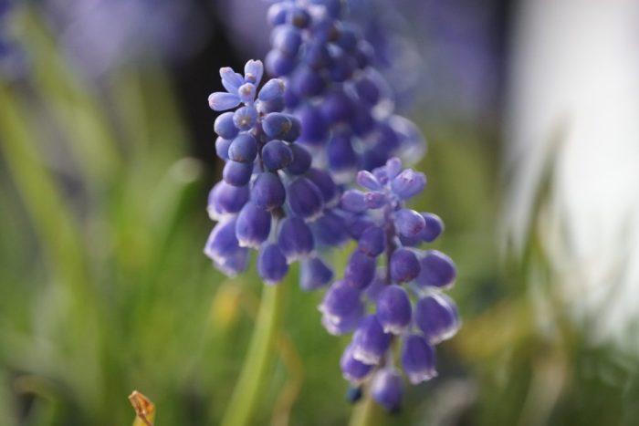 blauwe druifjes
