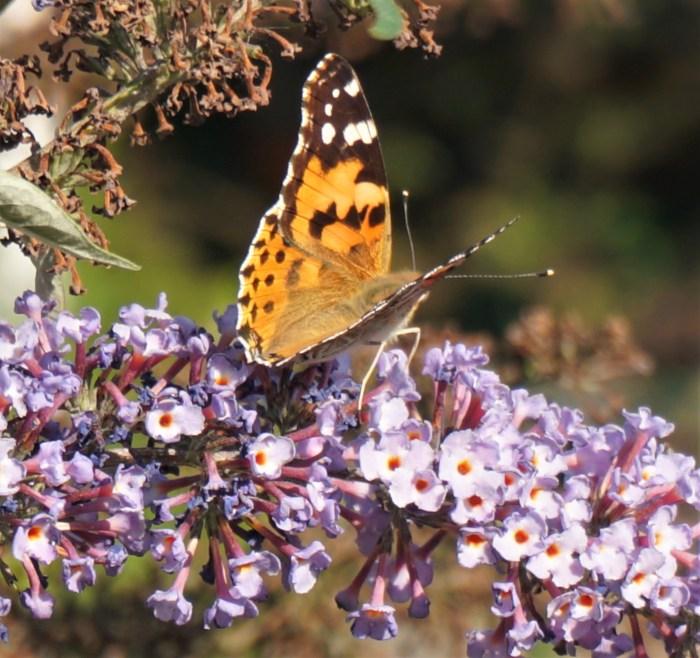 vlindeDistelvlinder op de  bloem van de vlinderstruik