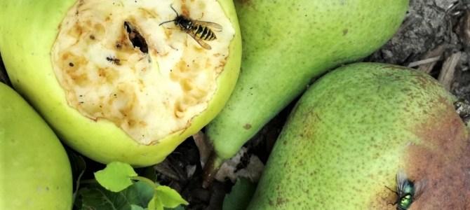 Waarom komen wespen op het rijpe fruit af?