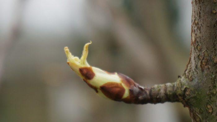 knop in de perenboom Charneux