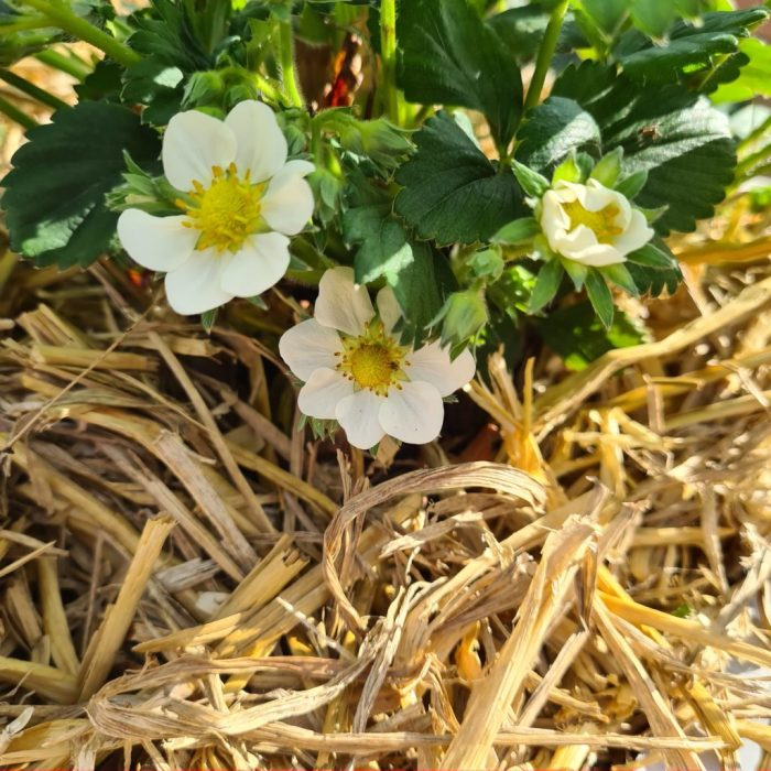 deze bloemen worden aardbeien
