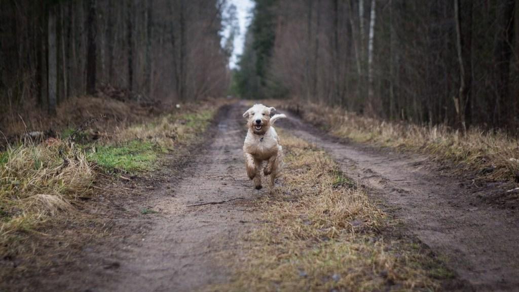 Hund auf Waldweg läuft auf die Kamera zu