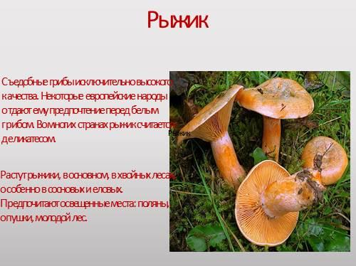 Съедобные Грибы Рыжики Фото И Описание - enterpriseinstall