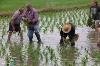 Plantada de l'arros - Poble Nou del Delta - 08 juny 2014 h1-imp