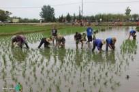 Plantada de l'arros - Poble Nou del Delta - 08 juny 2014 h2-imp