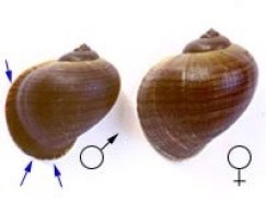 cargol-mascle-cargol-femella-1