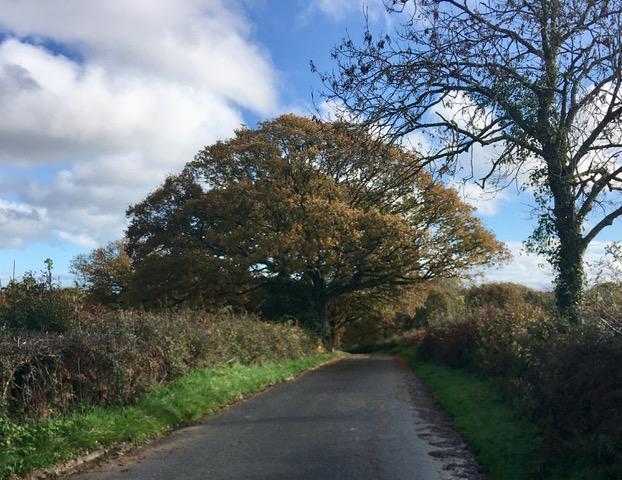 Oak Tree by the Road