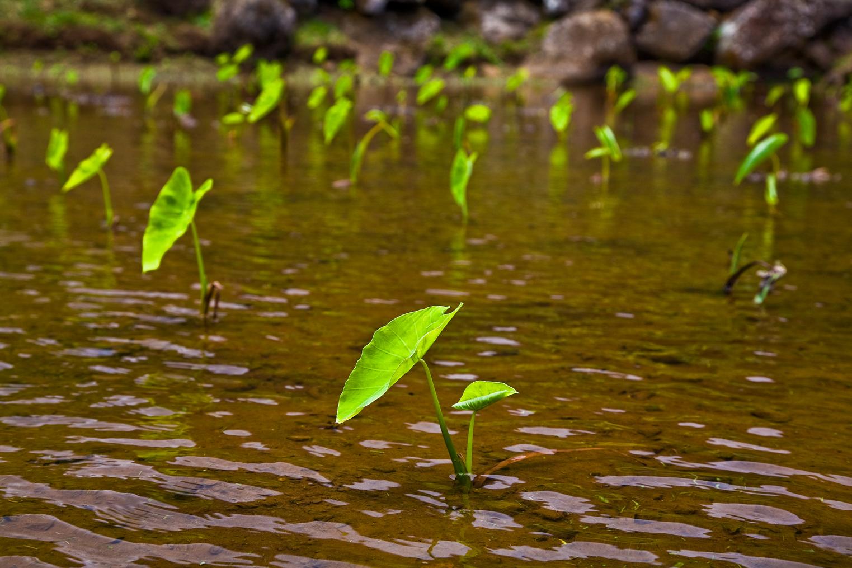 Volunteer in Sustainable Agriculture on Kauai - Volunteer Kauai