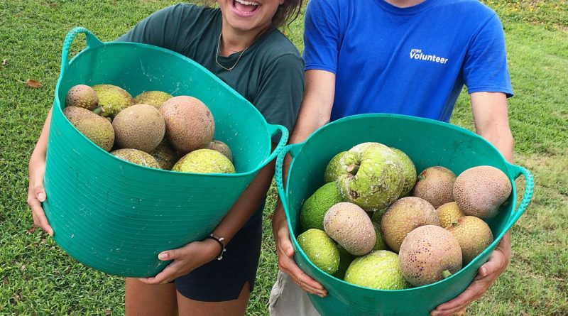 kauai-agroforestry-breadfruit