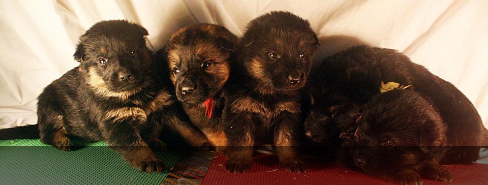 Buying A Zwinger Von Der Bauerhof German Shepherd Puppy