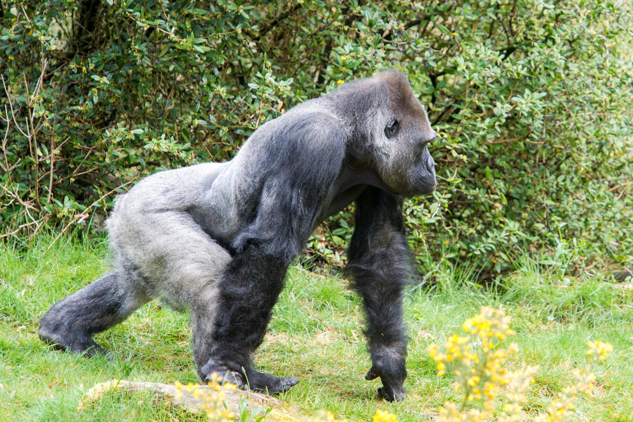 Gorillababy in Apenheul op komst
