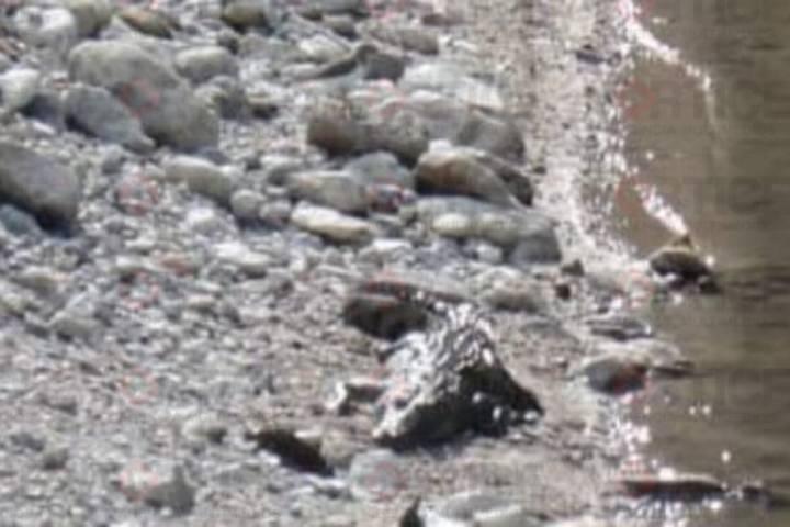 Avistan caimán en El Sabinal; continúa su búsqueda