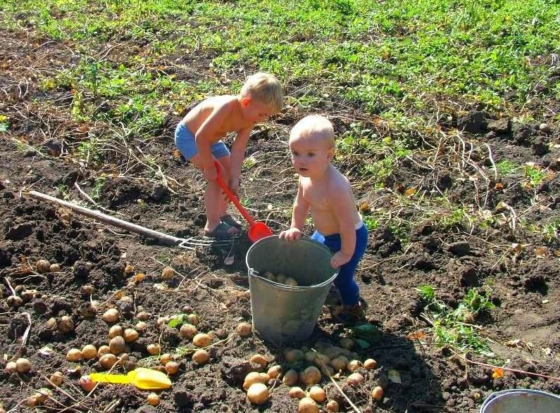Дети собирают картошку