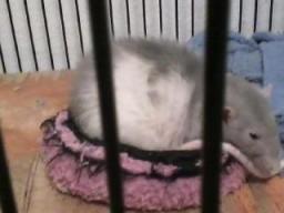 Wachter's pet rat. (Photo: Brooke Wachter)