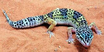 Marquez's pet leopard gecko (Photo: Katie Marquez)