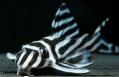 peixe zebrado