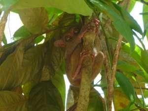 Le tarsier et sa tête de gremlins