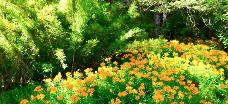 Splendides Araucanias (2)
