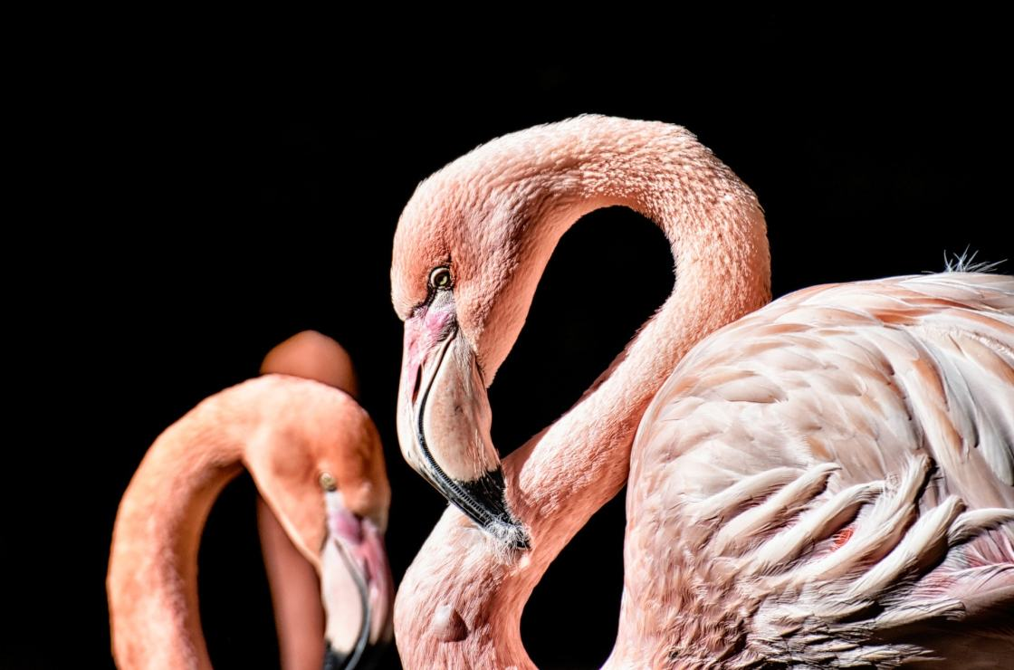 wallpaper et fond d'écran animaux flamand rose