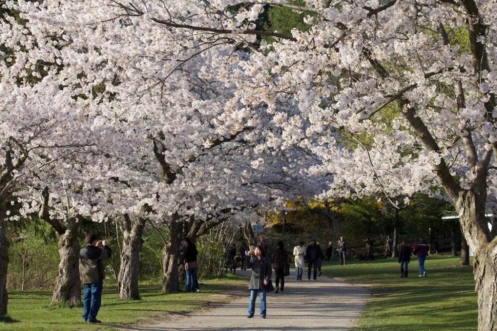 BlossomFestivals_sakura