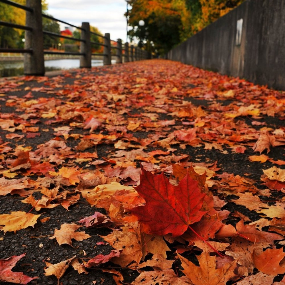 Feuilles colorées rouges et orange éparpillées sur le trottoir le long du canal Rideau