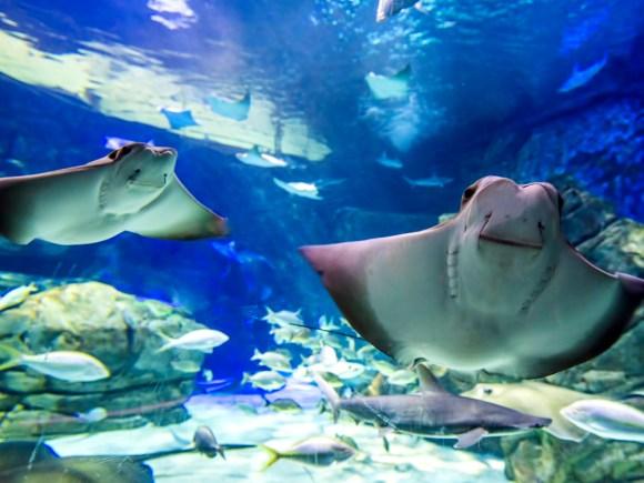 Deux raies qui nagent dans la galerie de la baie des raies à l'Aquarium Ripley