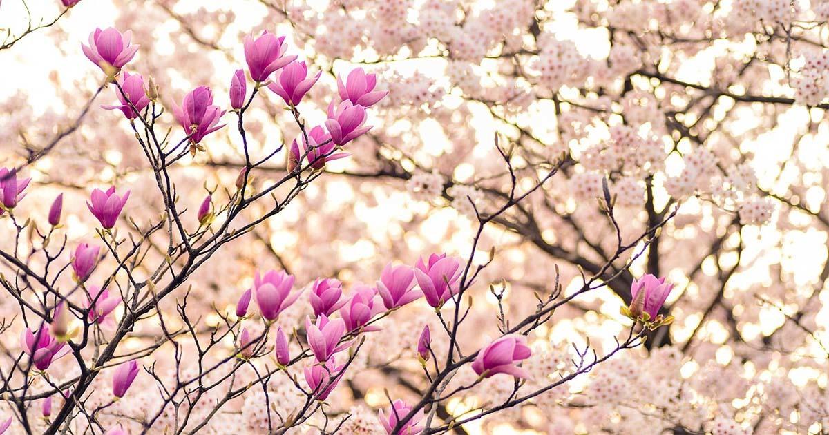 Cerisiers en fleurs à Tokyo