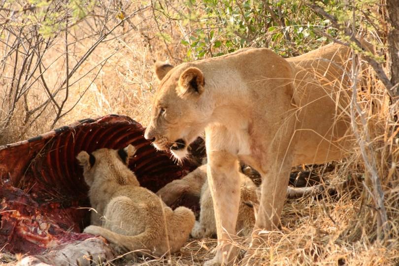 lion safari-3