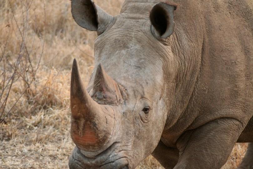 rhino-madikwe