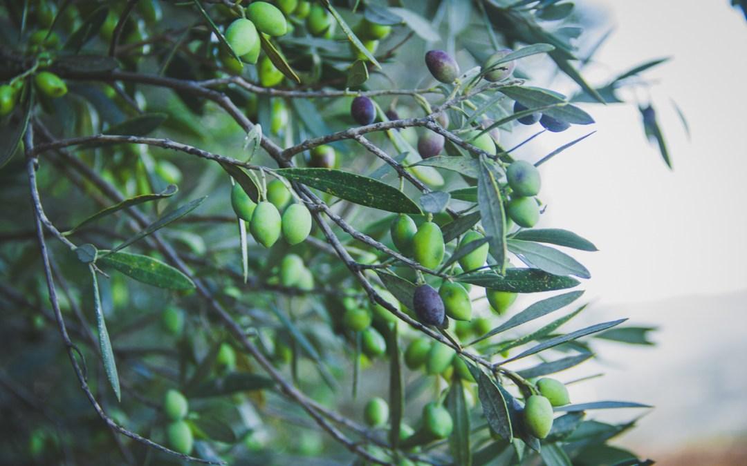 Agrotrip en Crète – Les oliviers
