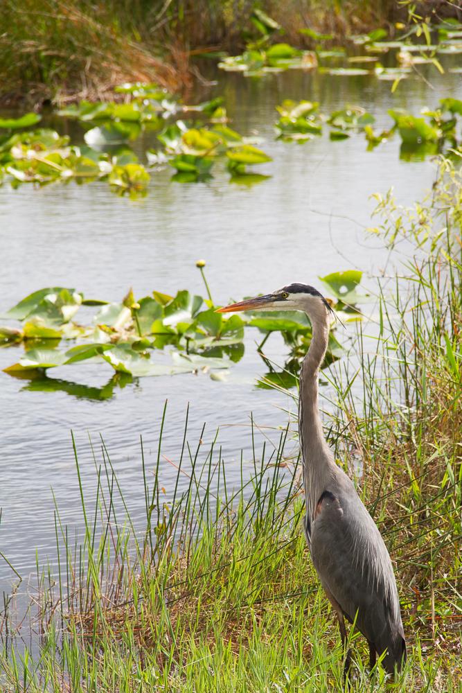 Everglades heron