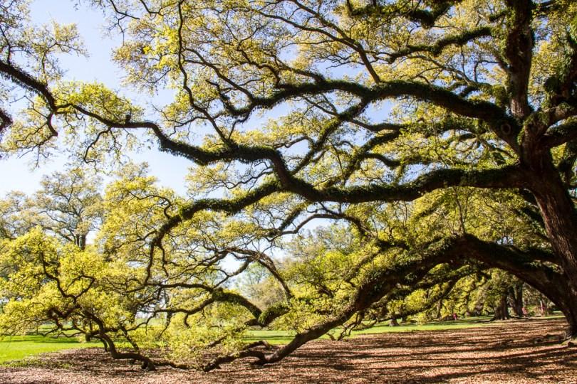 Allée arbre Oak plantation