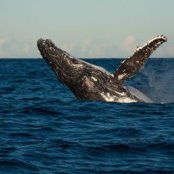 Baleines-sydney