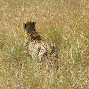 guepard-afrique-du-sud