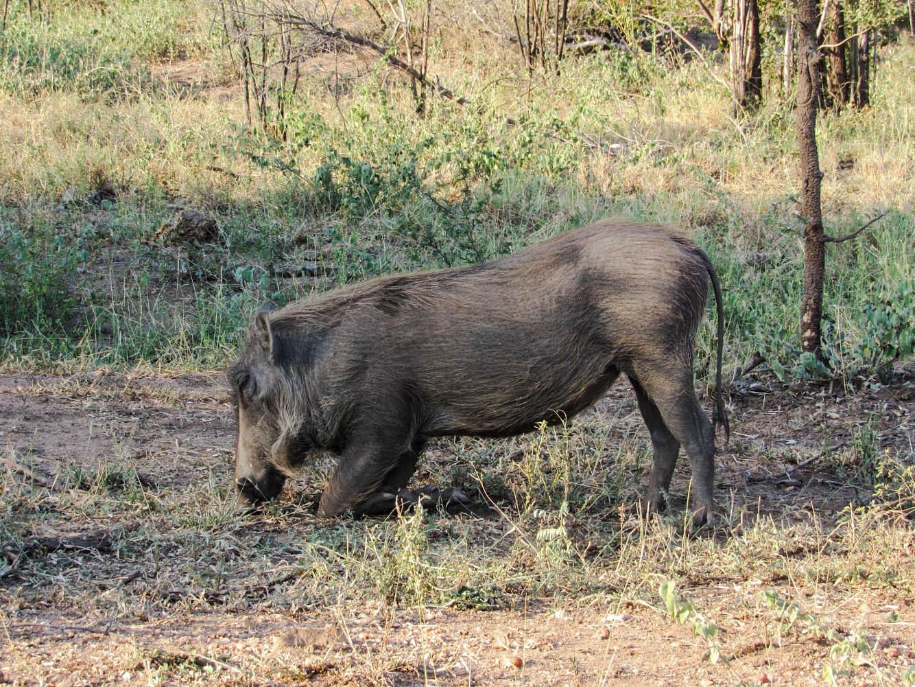 phacochère-afrique-du-sud