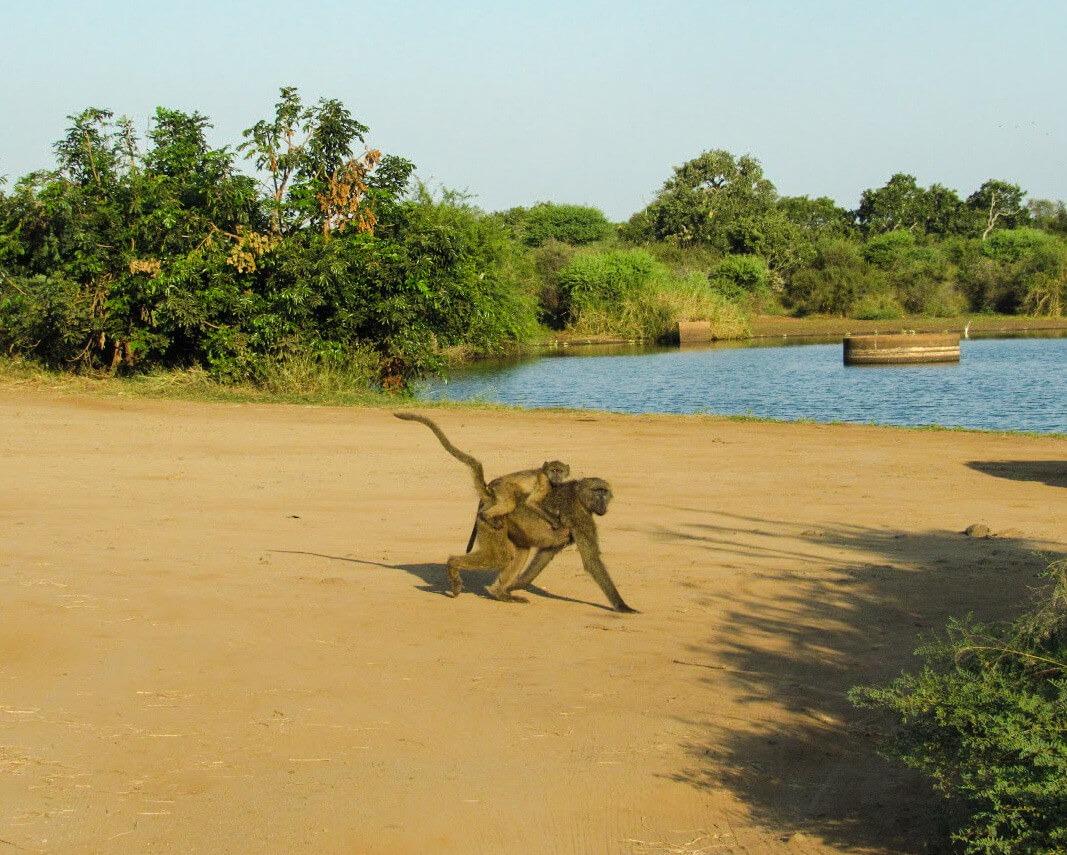 Singe-afrique-du-sud